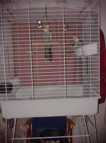 2 cockatiels for sale with cage