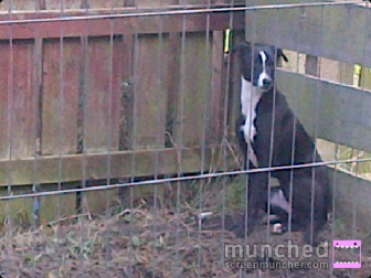 Black & White Lurcher  1 Year Old