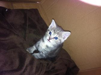 7 week old female kitten.