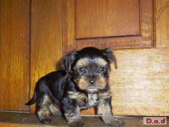 2 BEAUTIFUL YORKSHIRE TERRIER PUPS